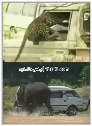 کلیپ حمله حیوانات به انسان