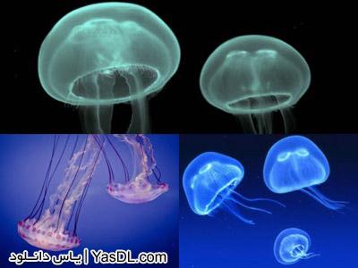 دانلود اسکرین سیور چتر دریایی - Jellyfish Screen saver